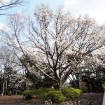 桜@駒沢公園