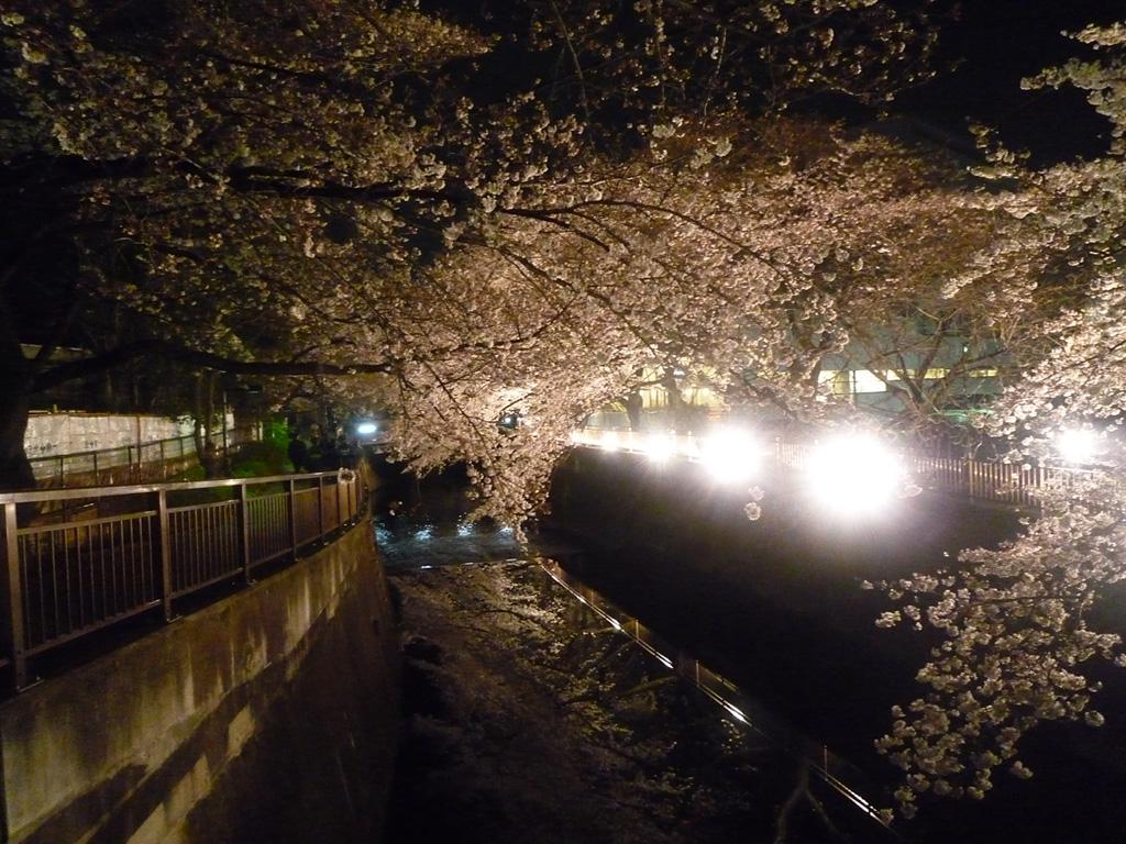 仙川ライトアップ桜