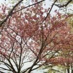 高尾の山桜